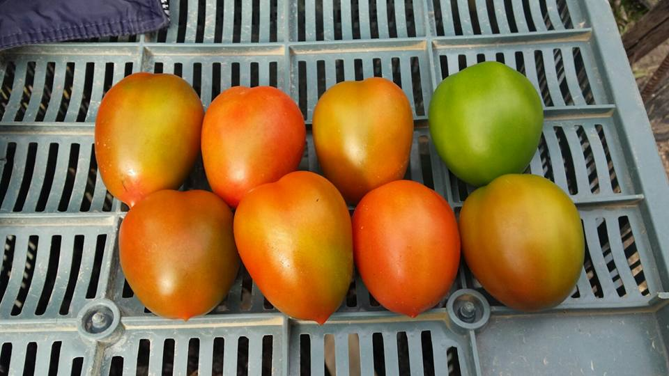 Tomate MS-T001